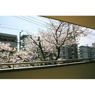 食堂から見える桜